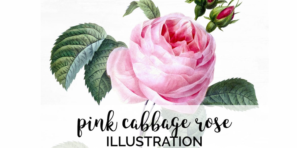 Pink Cabbage Rose Floral Illustration