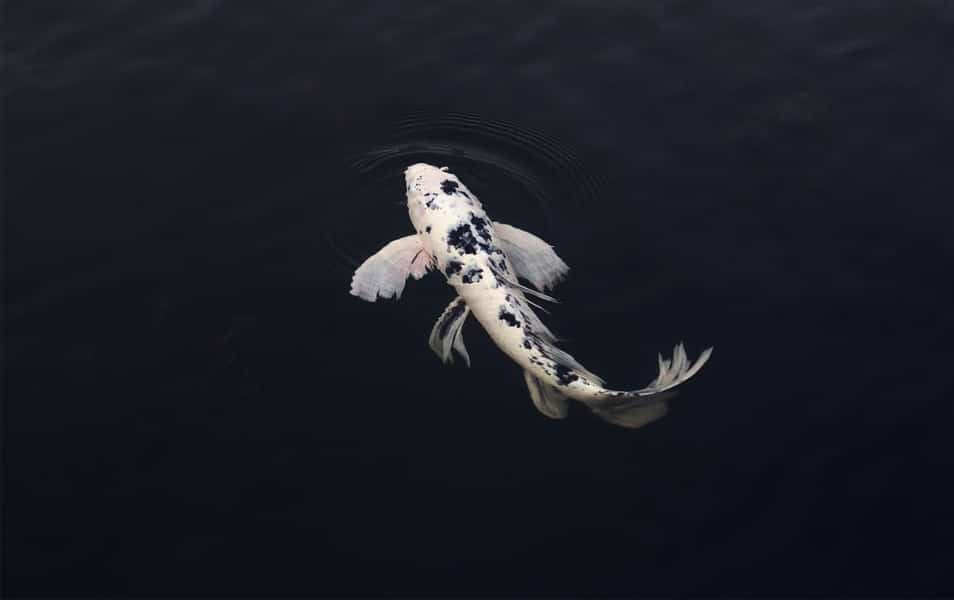 White and Black Koi Fish